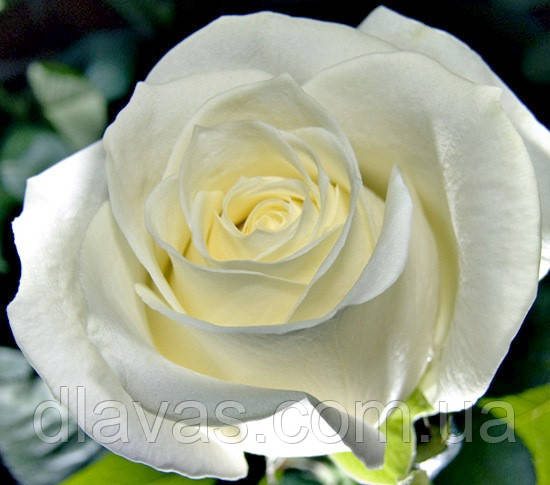 Саженцы роз МАРУСЯ чайно-гибридная