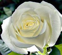 Саженцы роз МАРУСЯ чайно-гибридная, фото 1