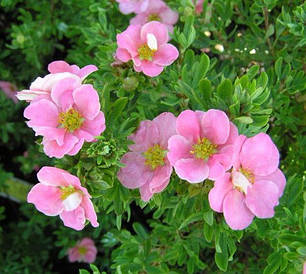 Лапчатка кущова Pink Queen 3 річна, Лапчатка кустарниковая Пинк Квин, Potentilla fruticosa Pink Queen