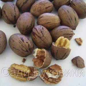 Саженцы ореха Пекан Гроздан (однолетние)