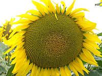 Насіння соняшника НС-Х-498 (Еліта)
