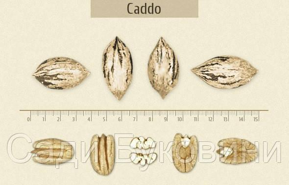 Саженцы ореха Пекан Кадо (однолетние)