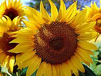 Насіння соняшника Фантазія (Еліта) Нертус