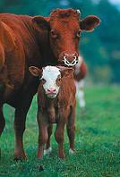 Разведение крупного рогатого скота (КРС)