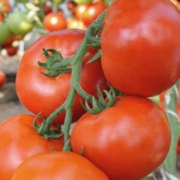 Семена томата Махитос F1 (100 сем.)