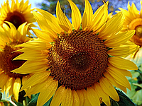 Насіння соняшника НСХ-6044 (Стандарт) Нертус