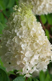 Гортензія морозостійка Kyushu 2 річна, Гортензия метельчатая Киушу, Hydrangea paniculata Kyushu