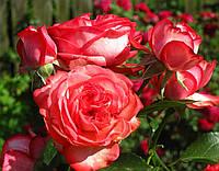 Саженцы роз Антик . Плетистая роза, фото 1