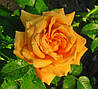Роза Полька. Плетистая роза. (с)