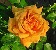 Роза Полька. Плетистая роза.