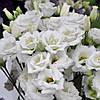 Croma 3 Silky White