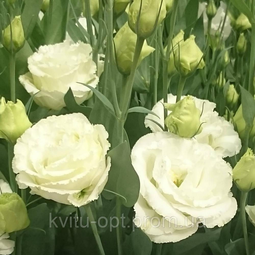 Queen 1 White