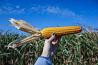 Насіння кукурудзи Mac 33.A ФАО 320 ( Maisadour Semences)