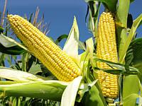 Насіння кукурудзи Mas 37. V  ФАО 340 ( Maisadour Semences)