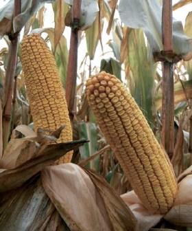 Насіння кукурудзи Mas 35. К  ФАО 360 ( Maisadour Semences)