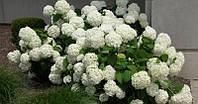 Гортензия древовидная Анабель Hydrangea Anabel