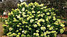 Гортензия метельчатая Лаймлайт Hydrangea paniculata Limelight