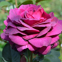 Ваш cад Роза чайно-гибридная Биг Перпл