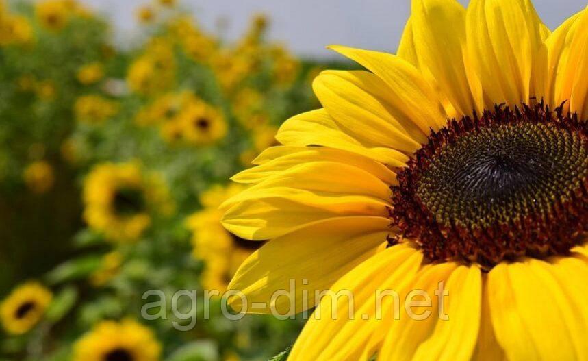 Семена подсолнечника Голден (A-F)