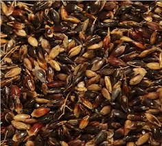 Семена суданской травы ГОЛУБОВСКАЯ 25 элита 1 репродукция