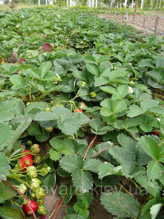 Земляника садовая, сорта, рассада, ранняя, Клери, крупноплодная, вкусная, сладкая, из питомника, Новая почта, опт, розница