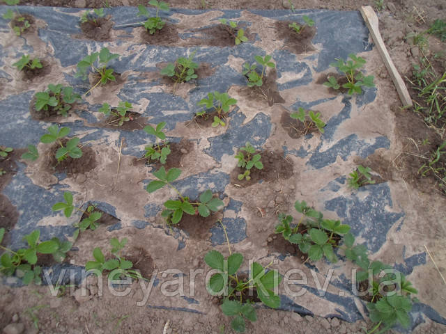 Альба, ранняя клубника, земляника садовая, саженцы, из питомника, доставка, Новая почта