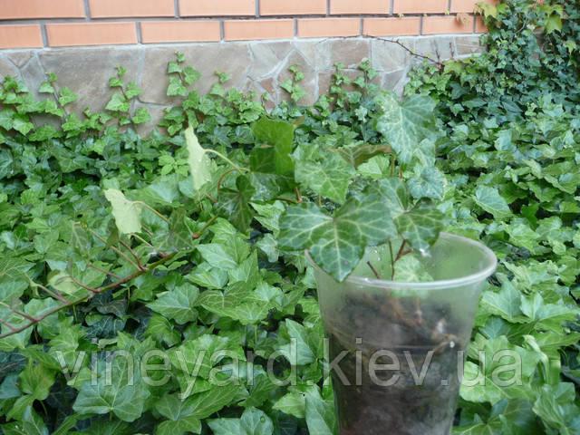 Плющ европейский, лиана, черенки, саженцы, декоративные растения, вьющиеся, для дома, доставка, Новая почта, цена