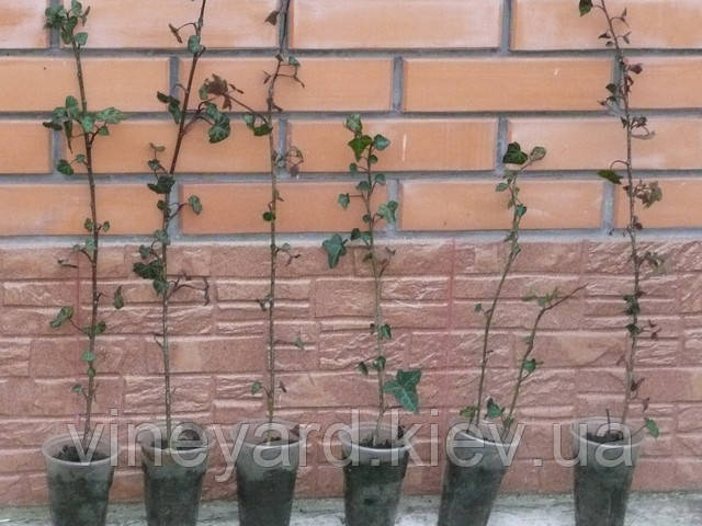 Плющ европейский, вечнозеленая лиана, декоративные растения, посадка, уход, характеристика, доставка, Новая почта