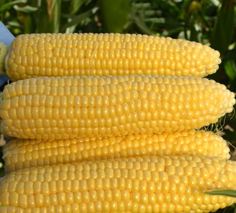 Насіння кукурудзи Mas 44. А  ФАО 380 ( Maisadour Semences)