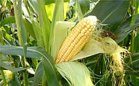 Насіння кукурудзи Mas 44. F  ФАО 390 ( Maisadour Semences)