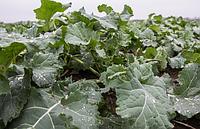 Осеннее подкармливание посевов рапса. Использование удобрений MERISTEM