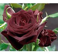 Саженцы Роза Блек Баккара 2