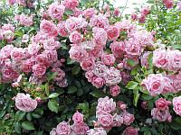 Саженцы Роза вьющаяся