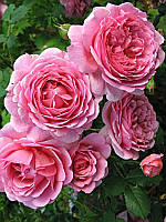 Саженцы Роза Королевская