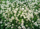 Клевер белый 300г семена 100% можно добавлять в газон использовать как цветущий карликовый, фото 2