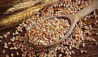 """Спельта органічна для виготовлення борошна та крупи (в мішках по 25 кг.) торгова марка """"Борошно і Хліб""""."""