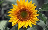 Насіння соняшника АС 34103 КЛ ДМ | AS34103KLDM Aspria