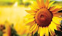 Насіння соняшнику  АС 33105 ( Aspria)
