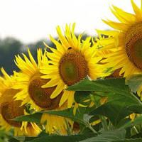 Насіння соняшника АС 34109 | AS34109 Aspria