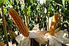 Кукурудза Mas 37.V