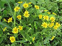 Семена медоносов- Арника сахалинская, семена, фасовка по 0,1 грамму
