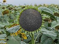 Насіння соняшника АС 34104 | AS34104 Aspria