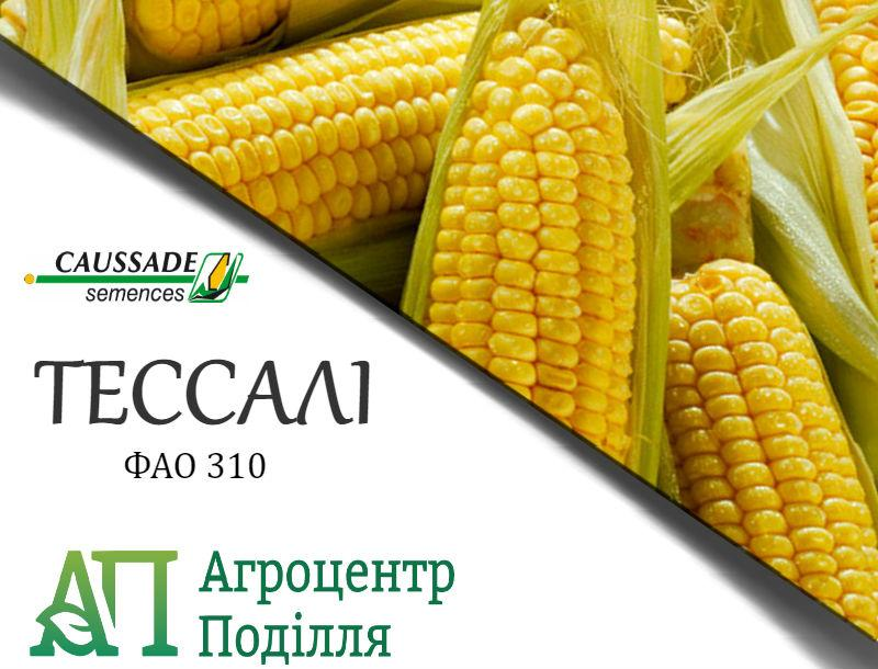 Семена кукурузы ТЕССАЛИ (ФАО 310) Коссад Семанс
