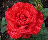 Роза чайно-гибридная Ред Интуишн (Red Intuition), фото 2