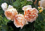 Роза плетистая Полька (Polka), фото 2