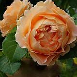 Роза плетистая Полька (Polka), фото 3