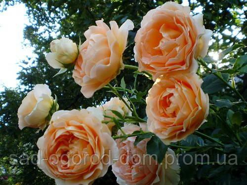 Роза плетистая Полька (Polka)