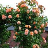 Роза плетистая Полька (Polka), фото 4