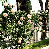 Роза плетистая Полька (Polka), фото 5