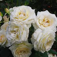 Роза плетистая Шнеевальс (Сhneewittchen)